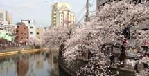 ◆東京の豪雨と風が桜が、、、、大好きなお花見が、、、、、◆東京の春注意報◆